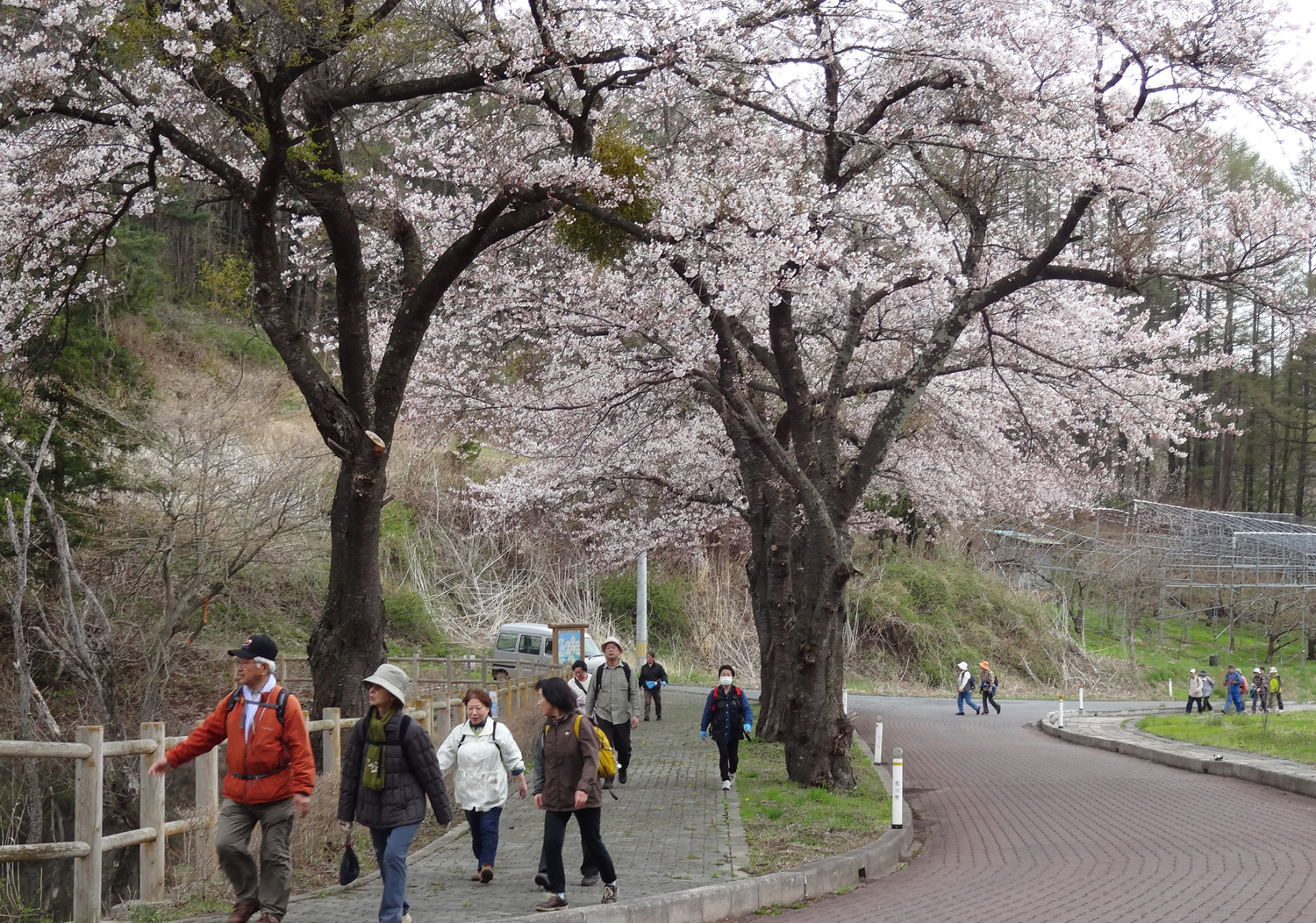 Cherry blossom viewing walk of fruit tree