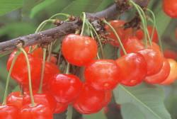 "Excellent article for sale ""cherry"" of Nanbu-cho"